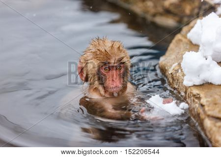 Baby snow monkey Japanese Macaque at onsen hot springs of Nagano, Japan