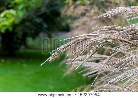 Ornamental Garden Grasses Decorative Light Brown Grass