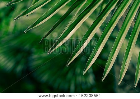 Close up of green palm leaves. Palm leaves