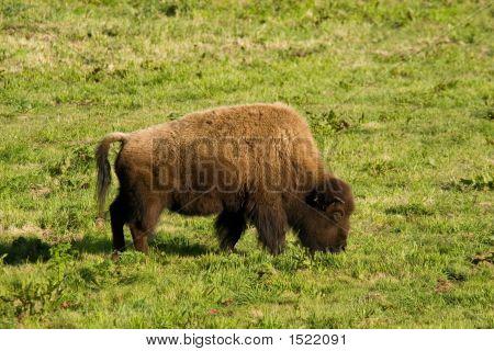 Buffalo Grazing I