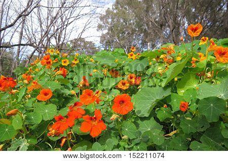 Orange garden bed of nasturtium flowers in full bloom