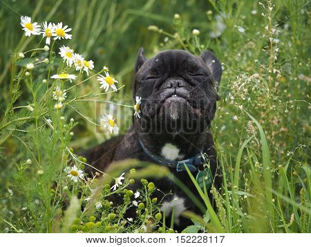 Dog sniffs funny chamomile flowers. Green grass dog portrait
