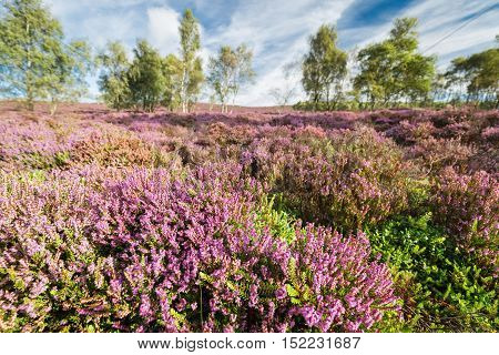 Scenic Heather Flowers Meadow with Blurred Trees in Background