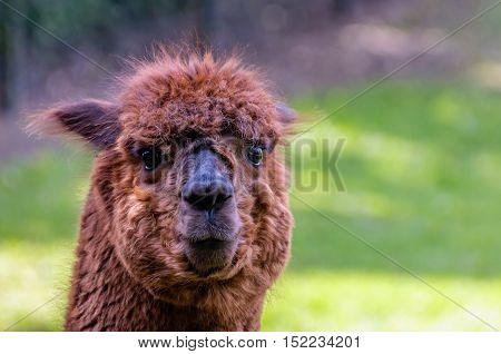 Portrait of a funny looking brown llama with curly hair and big glistening eyes standing in a fenced Dutch park on a sunny day in the spring season.