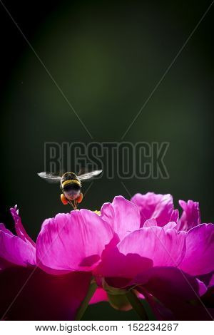 a bumble bee flying over a pink peaony