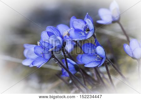 blue anemones or in latin hepatica nobilis