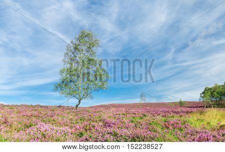 Green Birch Tree Among Purple Heather Flowers on Blue Sky
