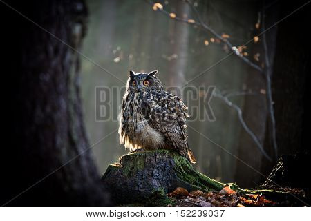 Eagle Owl is sitting on the tree stump. Wildlife photo.