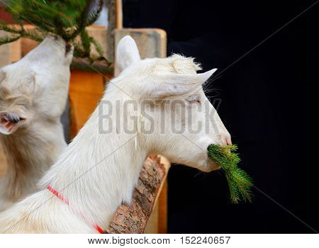 White Goat Eating Fir Branches In The Yard Of The Farm