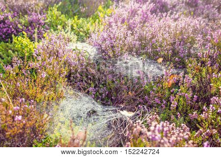 Colorful Seasonal Meadow with Heather Flowers and Spider Web