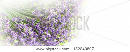 Bunch of dry wild mountain lavender flowers on white background