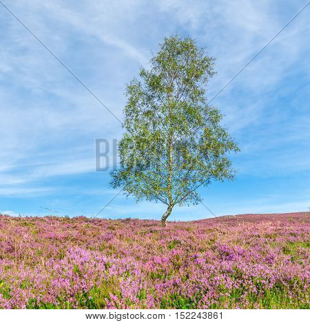Alone Birch Tree Among Purple Heather Flowers on Blue Sky