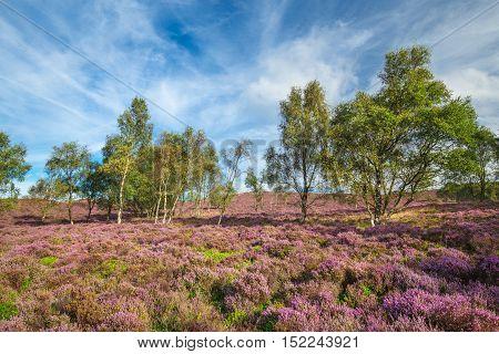 Birch Trees Among Blooming Purple Heather Flowers
