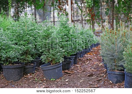 Pots with young coniferous plants in greenhouse