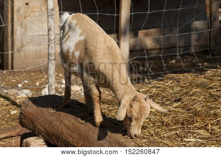 sheepfold with mammalian animals spotted goats fold with several goats