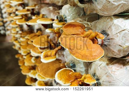 Lingzhi mushrooms in mushroom farm (selective focus)