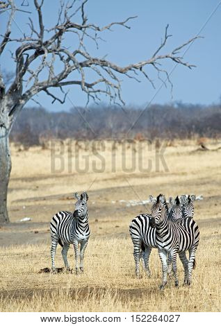 Portrait view of a dazzle of zebras on the dry plains in Hwange  National Park