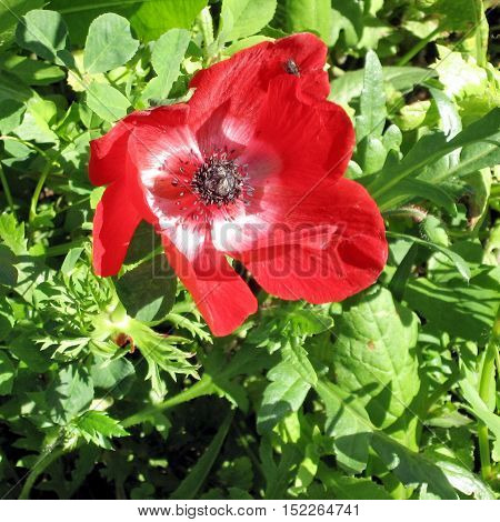Crown Anemone isolated in park of Ramat Gan Israel February 17 2007