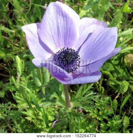 The Crown Anemone flower in park of Ramat Gan Israel February 17 2007