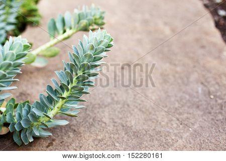 Spurge (Euphorbia myrsinites L. Euphorbiaceae) in the rocky garden