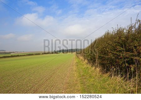 Autumnal Hedgerow And Wheat