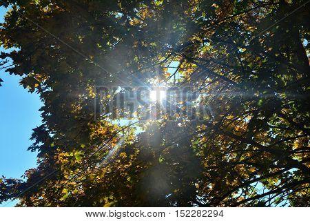 Sun shining through colorful tree in autumn