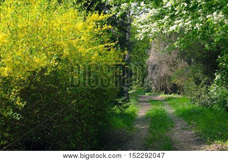 Forest road in the flowering spring. Tiszalok Arboretum in Hungary. Hungarian countryside. Spring season landscape.