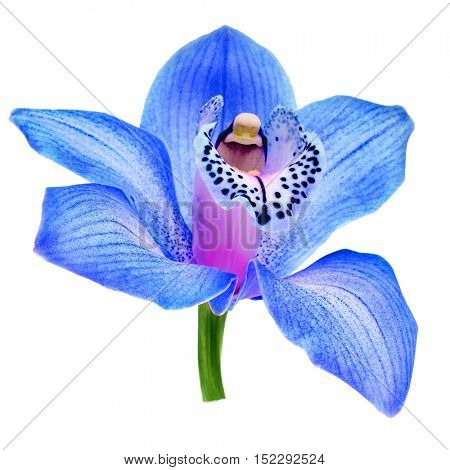 One beautiful blue orchid bud head close up isolated on white