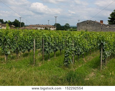 vineyards near sant Emilion in France, merlot