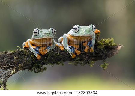 Tree Frog, two Javan tree frog sitting on branch