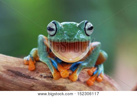 Tree frog, java tree frog laugh on dry wood