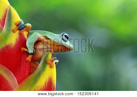 Tree frog, Javan tree frog is above the tree buds are trying to jump
