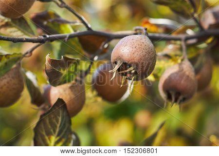 Closeup of common medlar fruit growing on tree