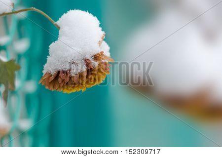 Frozen chrysanthemum. Snow on chrysanthemum. One flower on blurred background.