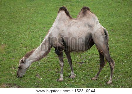 Bactrian camel (Camelus bactrianus). Domestic animal.