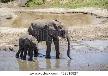 Family of elefants drinking water at waterhole in Tarangire national park Tansania
