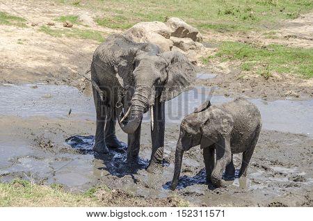 Family of elefants taking a mud bath Tarangire national park Tanzania