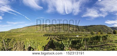 Green Vineyards  At Moselle Valley In Summer