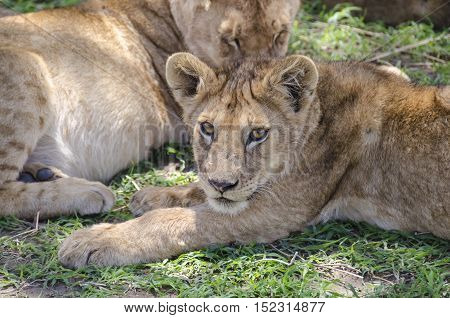 Jung lion lying on the grass in Serengeti Tansania