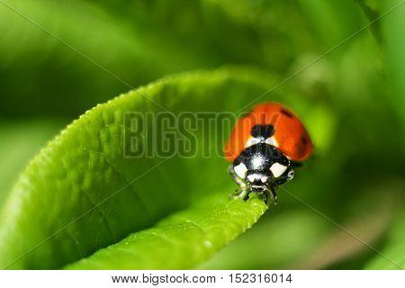 ladybug, beetle, close-up photo on a green leaf.