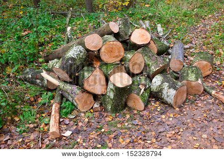 Saw Cut Trunks Of The Tree. Firewood.