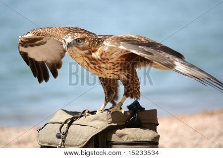 Falcon on the bag