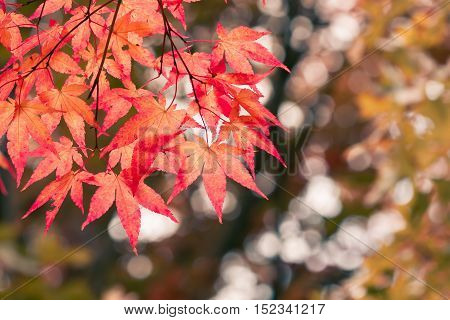 Looking up at colorful Japanese maple leaves in autumn.