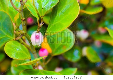 Ficus deltoidea commonly known as mistletoe fig (Mas Cotek in Malaysian or Sarika Lin thong in Thai) is a large shrub or small tree species native to Southeast Asia and widely naturalized in other parts of the wor