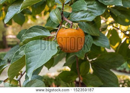 A photo of a ripe persimmon fruit hanging on a tree between green leaves