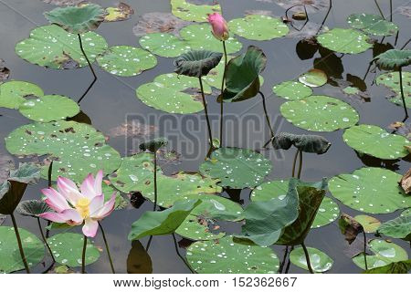 A pond of beautiful lotus blooming and pending to be bloomed