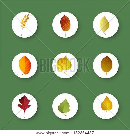 Set of autumn colorful leaves . Vector elements .