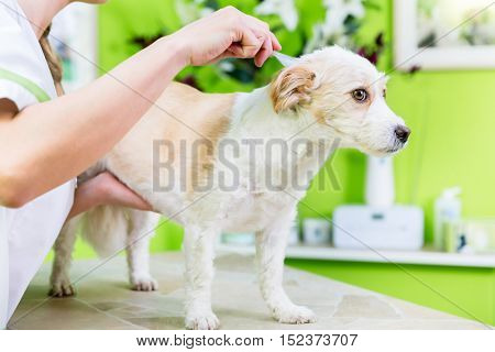 Woman is examining Dog for flea at pet groomer