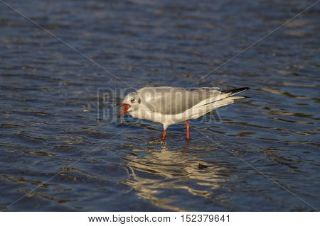 Close-up of a  screaming Seagull. Seagulls (Laridae) at the lake. Wildlife. Animals in the Wild. A Seagull stands the Water