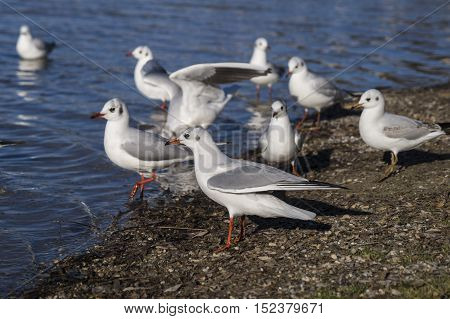 Close up of some seagulls. Seagulls (Laridae) at the Lake. A Group of Seagulls at the Lakeshore